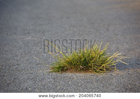 A little tuft of grass breaking the road surface. Selective focus and warm evening light.