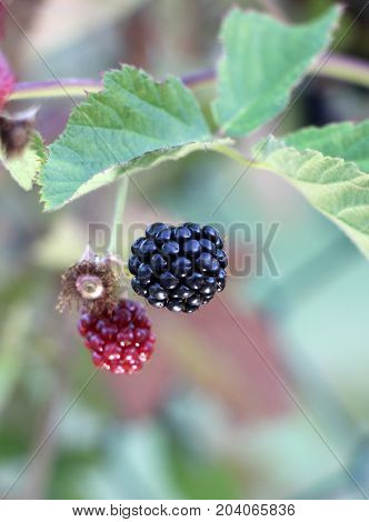 Ripe And Unripe Blackberries On The Bush With Selective Focus. Bunch Of Blackberries. Berry Backgrou