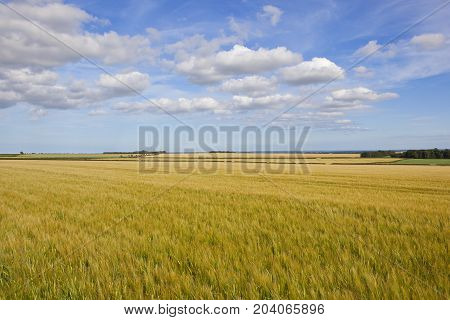 Yorkshire Wolds Barley Crop
