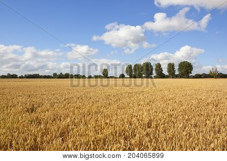Golden Wheat In Yorkshire
