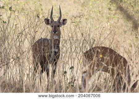 Male bushbok antelope which stands amid low bush and grass in shrub savannah