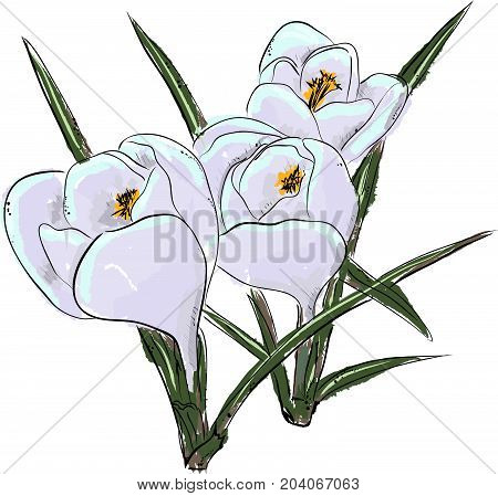 Snowdrops. Hand draw of flower. Vector illustration.