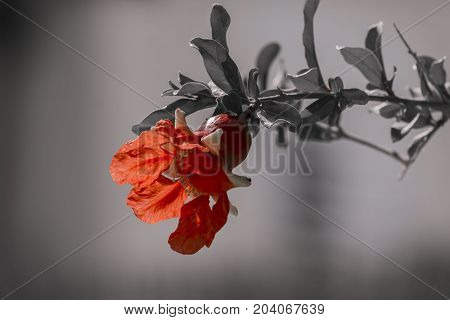 Red flower of a pomegranate tree on a blurred gray background with discolored leaves (Punica granatum)
