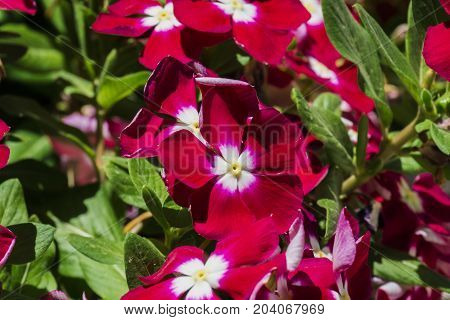 Scarlet Periwinkle flowers with white centers (Catharanthus roseus)