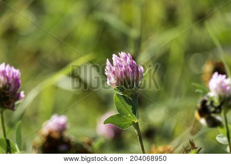 Violet-white flower of fragrant clover (Trifolium pratense)
