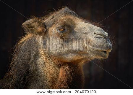 Portrait of Camel against the Dark Background