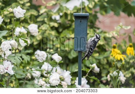 Downy Woodpecker at a Seed Cake Feeder