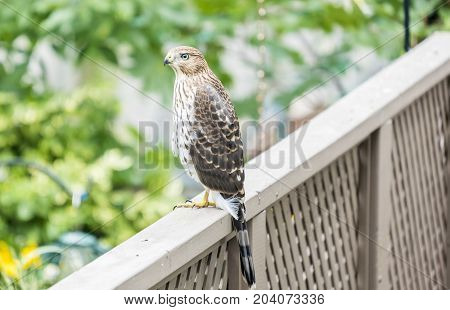 Cooper's Hawk Sitting on a Fence Near a Backyard Bird Feeder