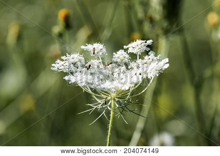 White umbellate flower of wild carrot (Daucus carota)
