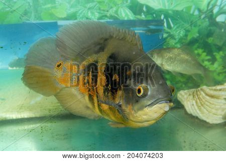 Exotic fish in the aquarium. Exotic tropical fish swimming in aquarium