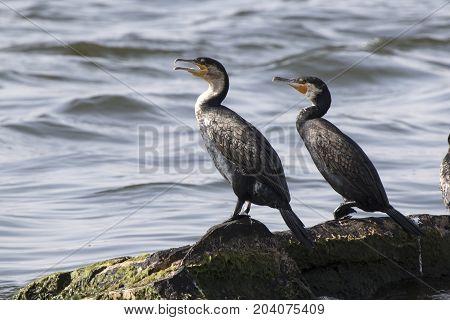 Two great cormorants sitting on rocks on Lake Victoria