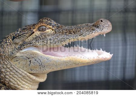 young gators can be distinguished by size and color