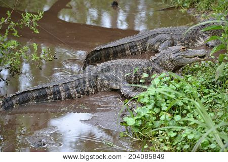 young gators can be distinguished by size and color poster
