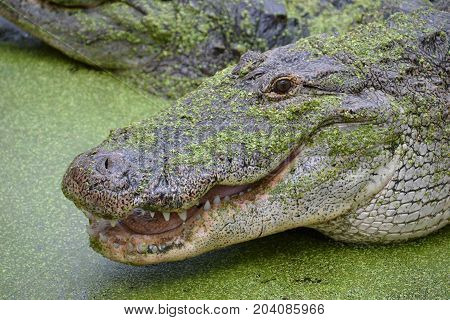 adult alligator eating meat  during feeding time