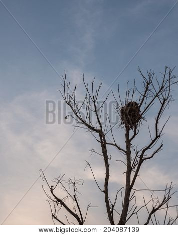 Large bird nest on the dry branch in the evening time.
