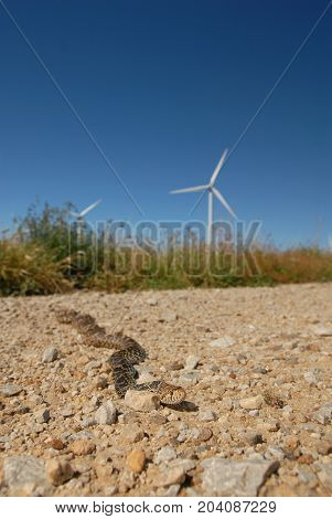 An adult gopher snake with a giant wind mill behind it in the background photographed in central Kansas.