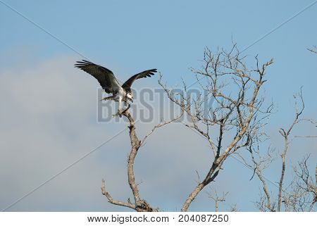 An osprey with a freshly captured fish in it's talons perched on a high branch in southern Florida.