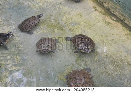 red eared slider turtle in the water