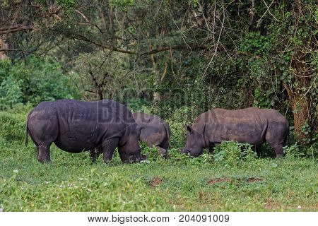 A group of White Rhinoceros (Ceratotherium simum) grazing in natural habitat Uganda Africa.