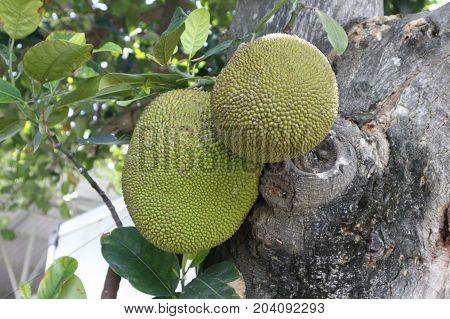 Jack fruit on tree in Ninh Thuan, Vietnam