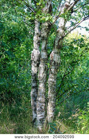 Three genetically modified Karelian birches in plantation culture