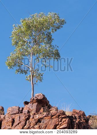 Gum tree on the cliff of Trephina Gorge in the late afternoon sun east MacDonnell ranges near Alice Springs Northern Territory Australia 2017