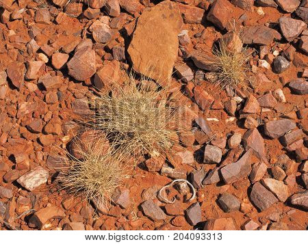 Spinifex Triodia species on red rock surface at Trephina Gorge east MacDonnell ranges near Alice Springs Northern Territory Australia 2017