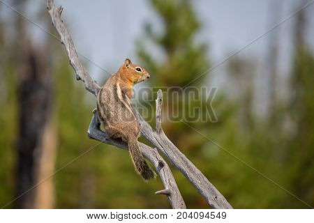 A chipmunk calmly rests on a dead branch.