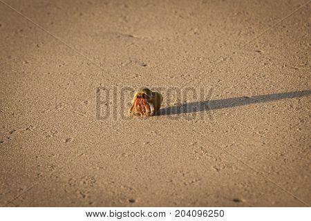 Close Up Of Hermit Crab.