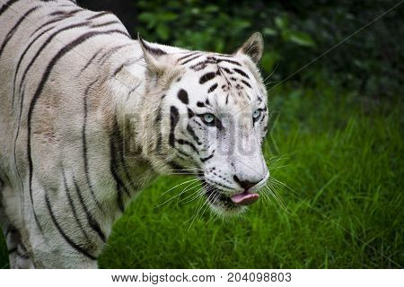 rare white bengal tiger looking majestic close up view flickering tounge face eyes with green background