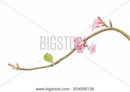 Branch Pink Frangipani isolated on White background. Clipping path