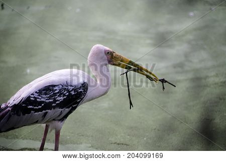 painted pink stork in water nesting with branch of tree in beak