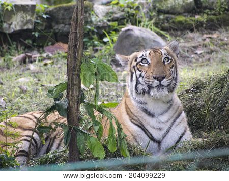 royal bengal tiger in zoo yellow color with black strikes