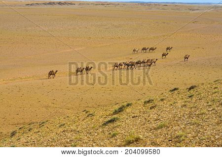 Double Hump Bactrian Camels Gobi Desert High Angle