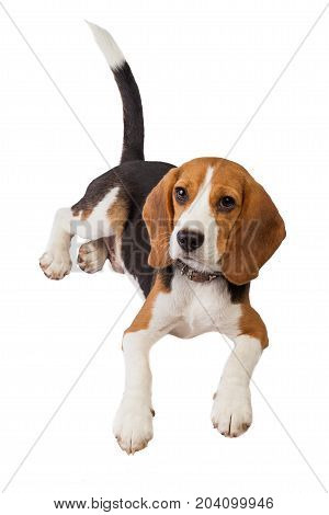 a beagle puppy over a white background