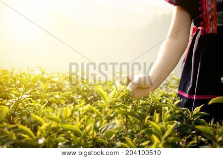 Little hill tribe farmer from Thailand picking tea leaves on tea plantation at Chui Fong Chiang Rai Thailand. Morning time with sunrise.