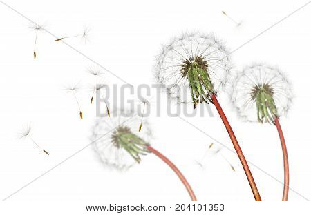 Airborne dandelion seeds flying in the wind, isolated on a white background