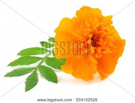 Orange Marigold flower Tagetes erecta Mexican marigold Aztec marigold African marigold isolated on white background