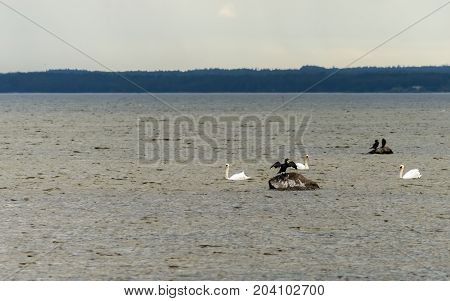 Loons and swans are sitting on the stones among shallow waters of the Baltic Sea, Europe