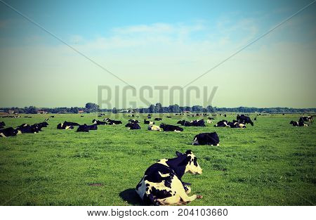 many cows grazing in prairie in summer with vintage effect