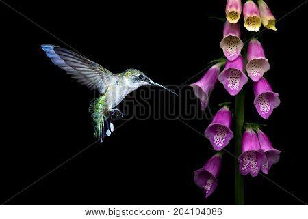Hummingbird feeding from purple foxglove flowers over black background