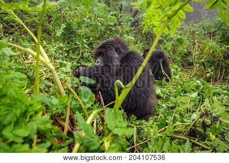 Profile of mountain gorilla sit and feeding in the forest