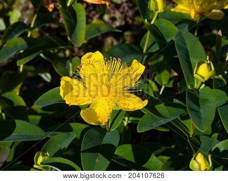St. John's Wort or Yellow Rose of Sharon Hypericum calycinum flower close-up selective focus shallow DOF.