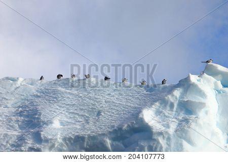 Kelp Gulls and Arctic Terns flying and sitting on iceberg, Antarctic Peninsula, Antarctica