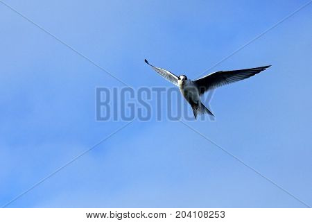 Arctic Tern flying, blue sky, Antarctic Peninsula Antarctica