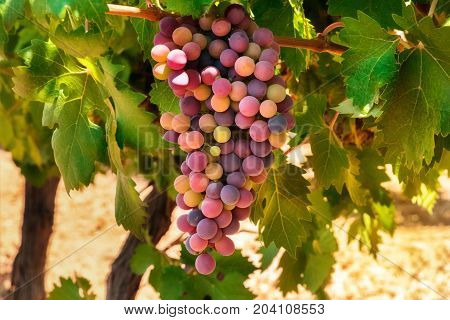 A vibrant photo of wine grapes hanging from a vine in a vineyard at autumn harvest, with a place for text