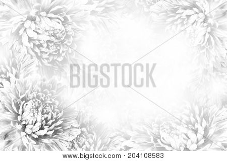 Floral gray-white beautiful background. Flower composition. Frame of white flowers Asters on white background. Nature.