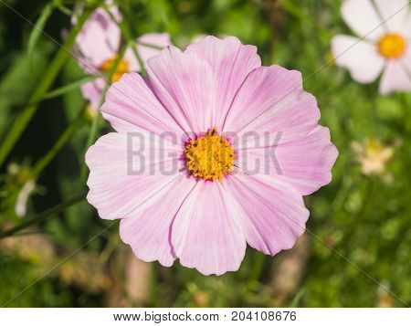 Mexican Aster or Garden cosmos Cosmos bipinnatus light-purple flower close-up selective focus shallow DOF.