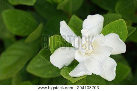 White Gardenia Flower (Gardenia jasminoides) with rain drops