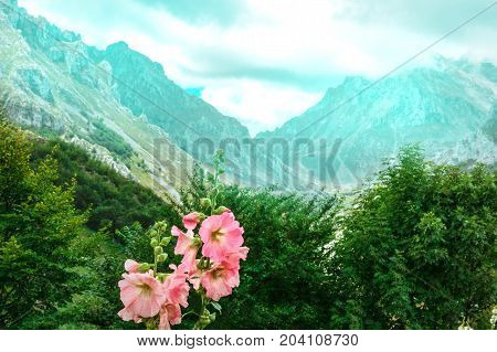 Pink mallows with raindrops on petals in front of a view over the mountains of Asturias, Spain